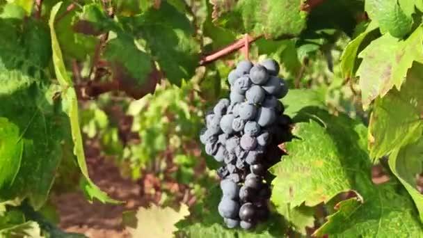 Egy csomó érett szőlő a szőlőültetvény soraiban. Szőlészet Pugliában, Olaszországban. Érlelés csomó szőlő szőlő nő a természetben. Vörösbor szőlő szőlőn.