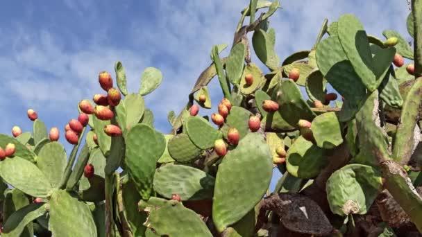Tüskés körte kaktusz gyümölcsök piros és narancs színű felett tiszta kék ég. Opuntia, az úgynevezett tüskés körte, a kaktuszcsaládba tartozó nemzetség, Kaktusz, Puglia, Olaszország