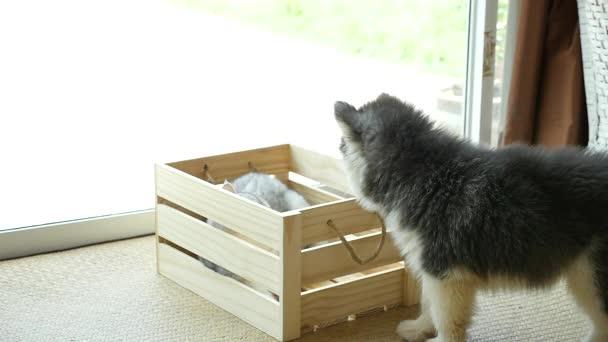 Sibiřský husky štěně hraje s kočkou v dřevěné bedně