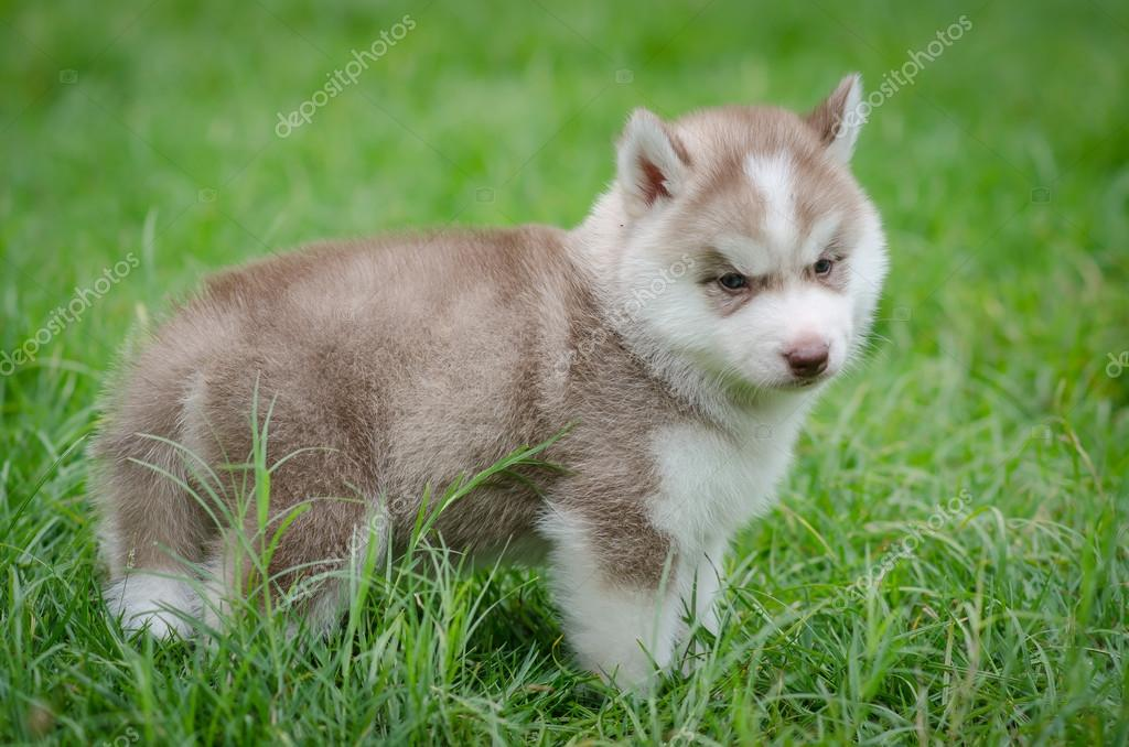 Puppy Siberian Husky On Grass Stock Photo C Lufimorgan 54649839