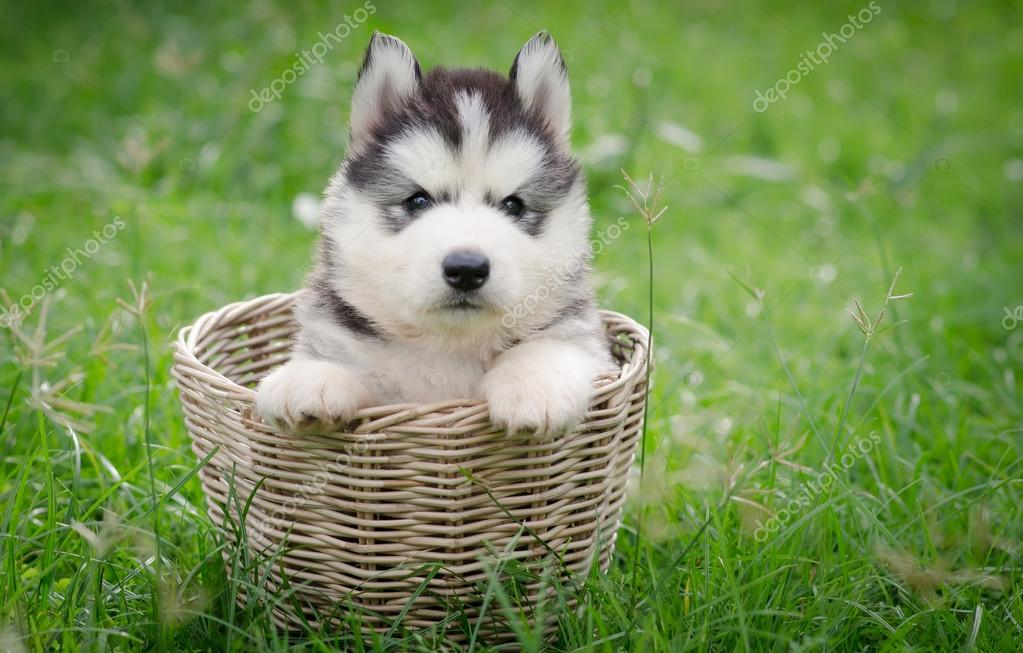 Cute Siberian Husky Puppy In Basket Stock Photo C Lufimorgan 55091095