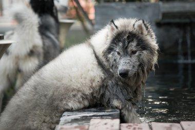 Close up dirty siberian husky