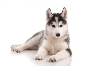 Cute siberian husky puppy lying