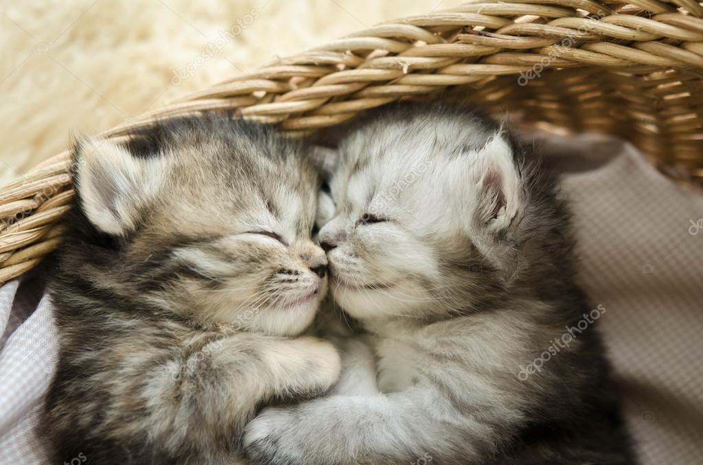 Cute tabby kittens sleeping and hugging