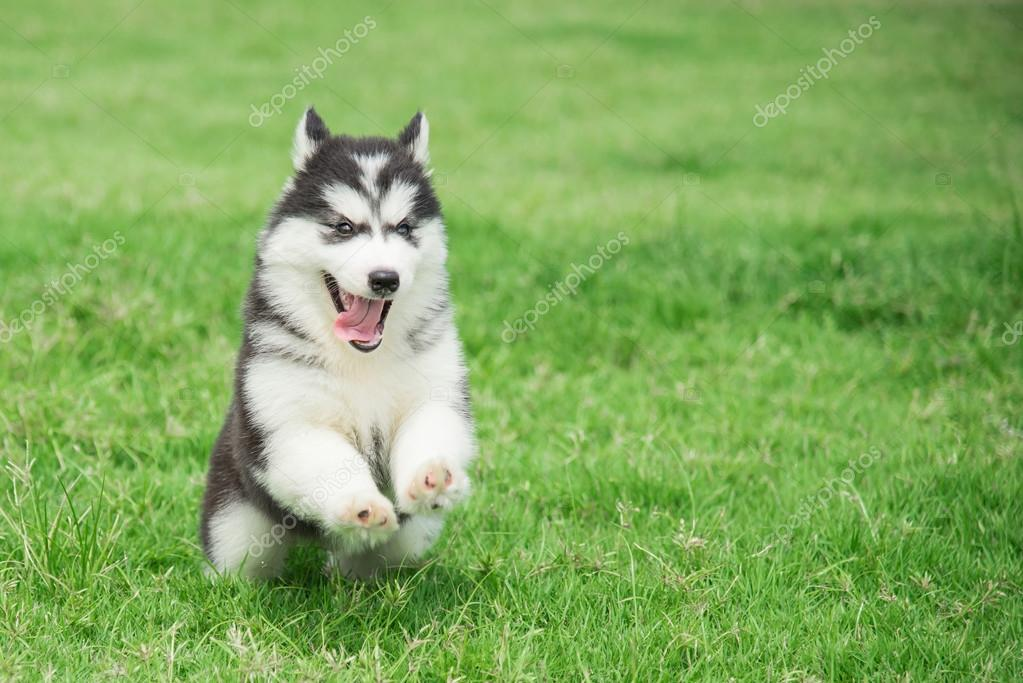 Cute siberian husky puppy running