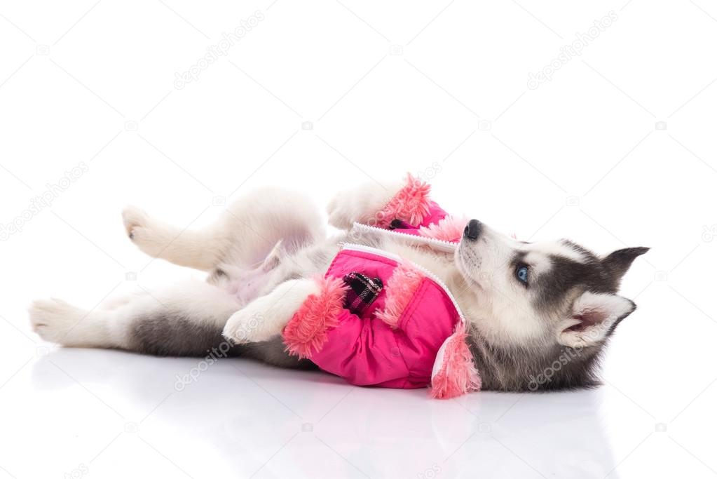 puppy in clothes on a white background
