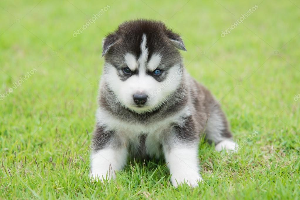 Husky Dog Blue Eyes