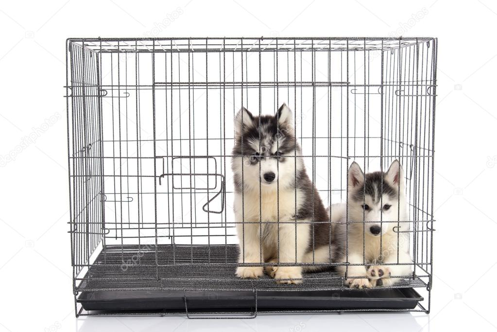 Cute siberian husky puppies in the cage on white background,isol