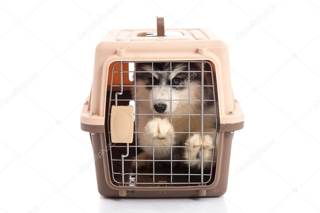 Cute siberian husky puppy in travel box on white background