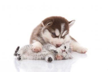 Cute siberian husky puppy  cuddling  cute kitten
