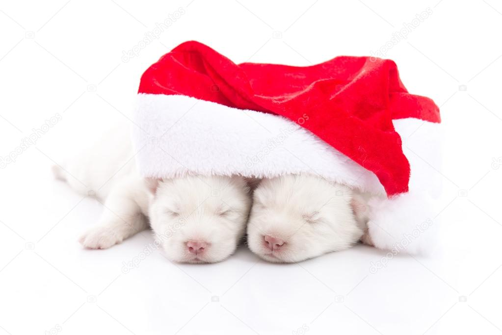 Siberian Husky Puppy In Santa Claus Xmas Red Hat On White Backgr