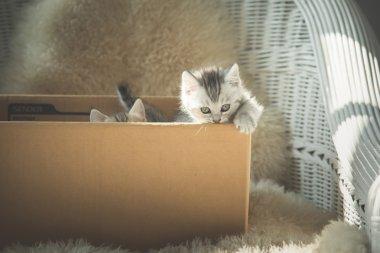 Cute tabby kittens  in a box