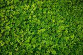 zöld levelek háttér