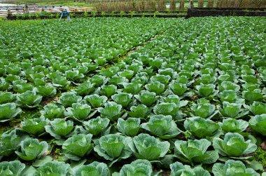 Fresh Cabbage field