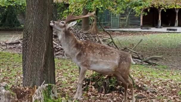 Padlý jelen, Dama mesopotamica je přežvýkavec savec z čeledi Cervidae.