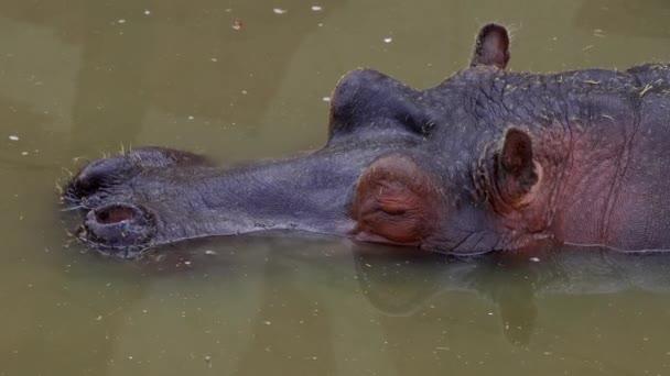 Ein Nilpferd, ein Nilpferd, das in einem Teich in einem Park liegt und mit dem Kopf über dem Wasser nach außen schaut