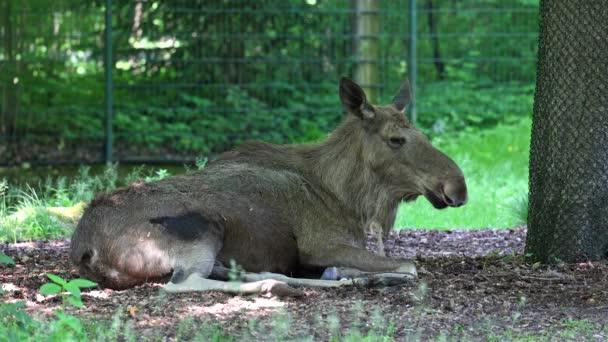 Der Elch oder Elch, Alces alces, ist die größte erhaltene Art in der Familie der Hirsche. Elche unterscheiden sich durch das breite, flache oder handtellerförmige Geweih der Männchen.