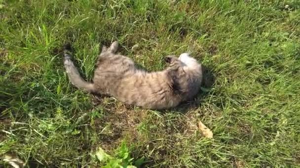 the cat is lying on the ground and licking himself. the cat washes the cat basks in the sun on a warm summer day. a tortoiseshell cat washes his face
