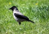 Photo Crow in the green grass