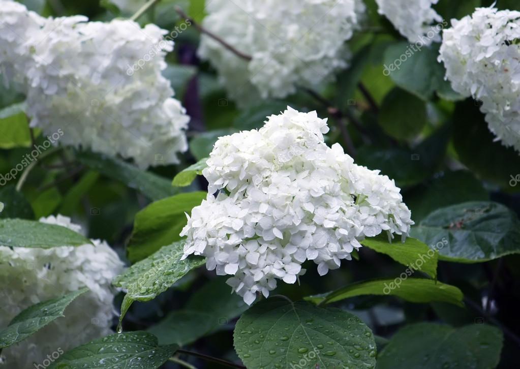 Weiße Blumen auf bush — Stockfoto © nightlyviolet #63879255