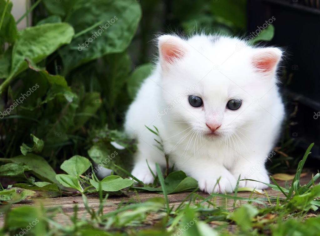 Fluffy white kitten