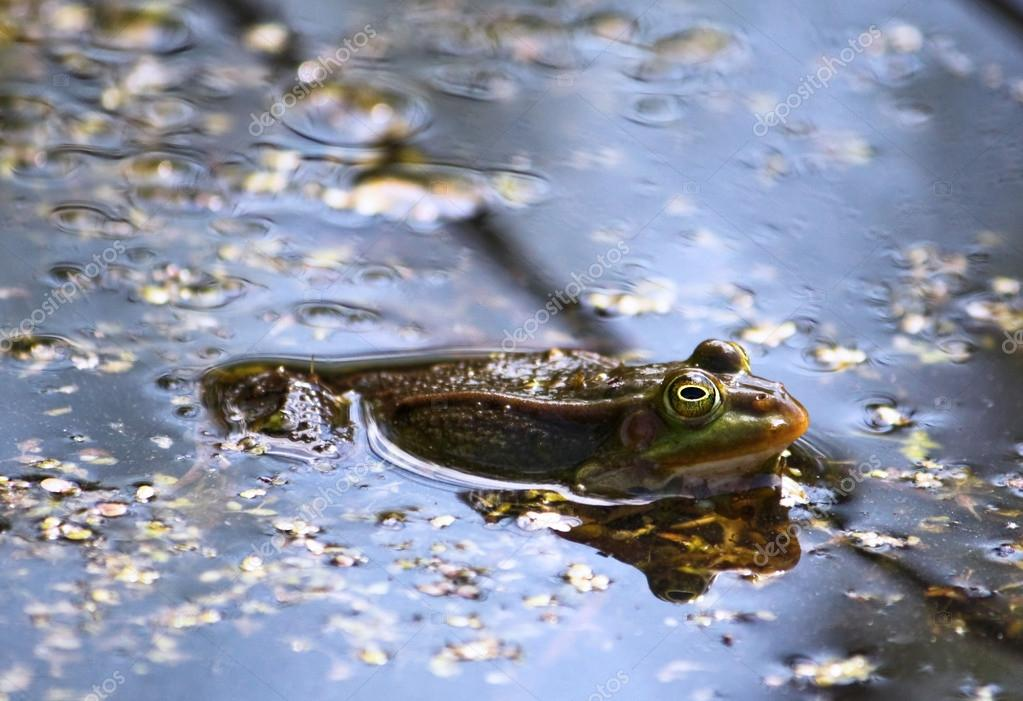 One  frog in a pond