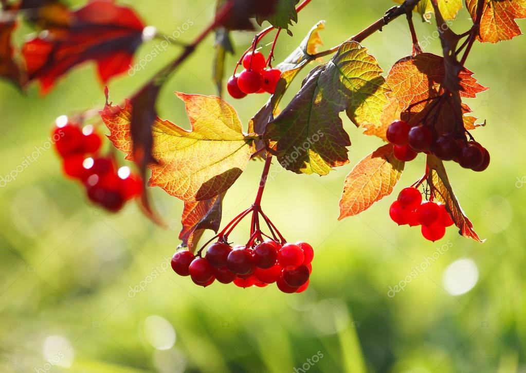 Ripe red viburnum