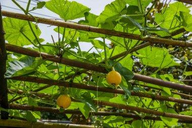 Fruit and vegetable food ---- pumpkin