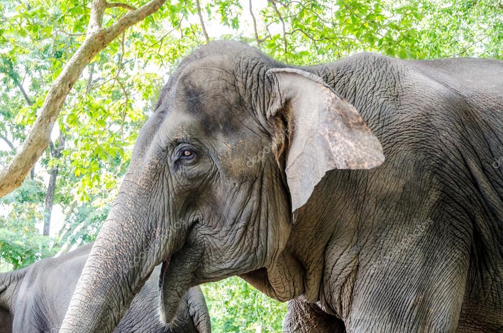 Wild Elephant In Thailand Symbol Of Nation Stock Photo