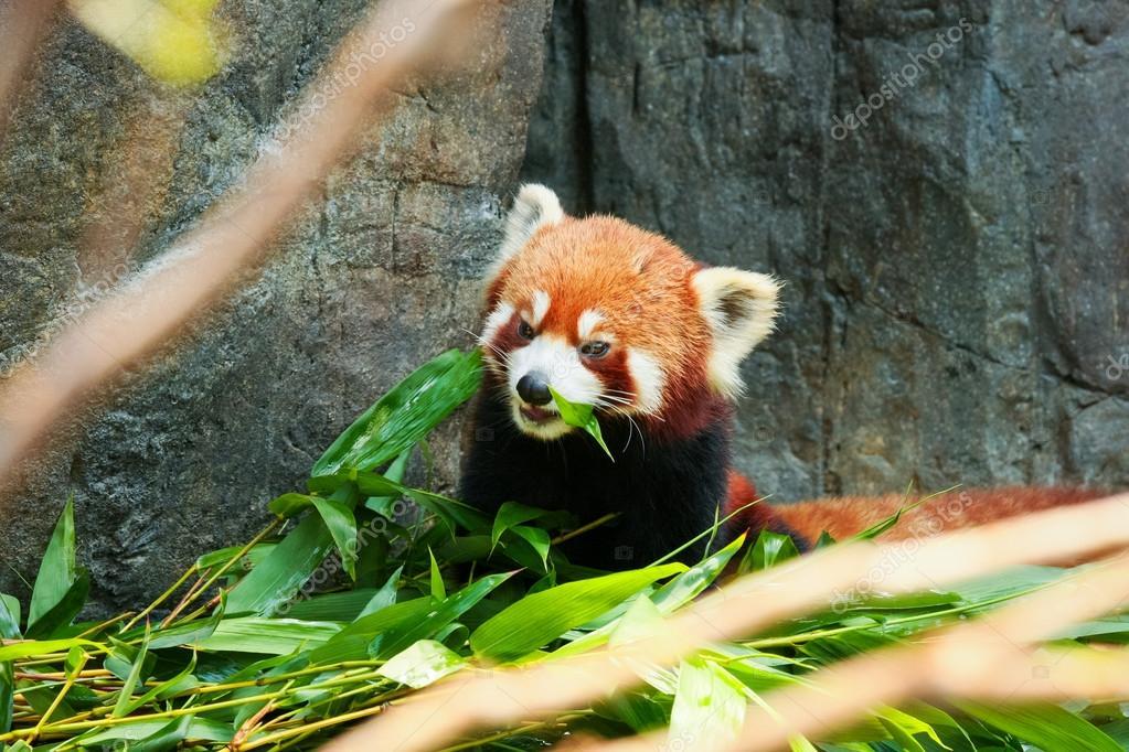 Susse Rote Panda Bambus Essen Stockfoto C Juhku 92285322