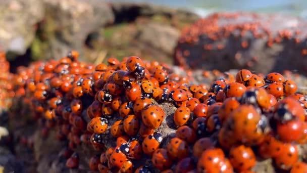 Mnoho berušek na Azovském moři v Rusku. Na kameni u moře se kupí spousta hmyzu. Invaze berušek.