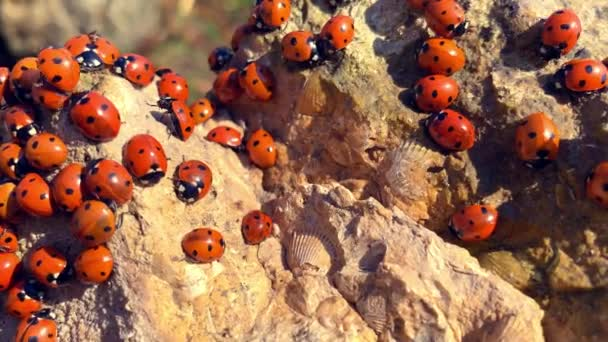 Many ladybugs on the Azov sea in russia. A lot of insects bask on the stone near the sea. Invasion of ladybirds.
