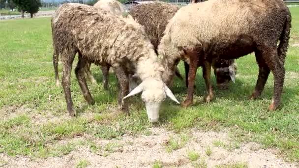 Eine Herde schmutziger Schafe weidet während der Regenzeit auf dem Hof.