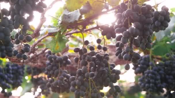 A szőlő egy csomó napsütéses szőlőültetvényen szüret előtt.