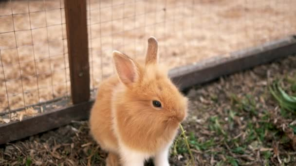 Cute brown bunny eating morning glory in a wooden cage. Easter bunny.