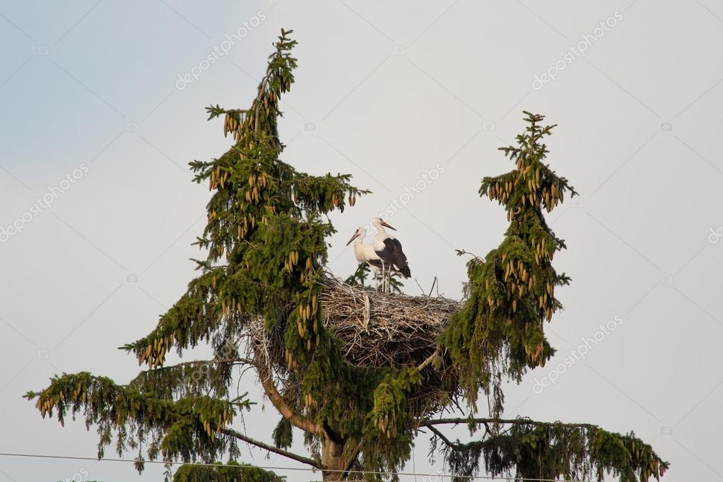 Couple of white storks in a nest in the summer
