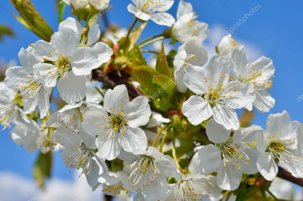 Weiße Blumen auf den Ästen der Bäume im Frühling — Stockfoto ...