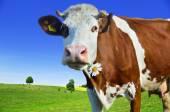 Mladé krávy na pastvě na zelené louce