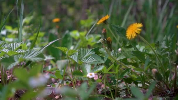 Forest herbs and yellow dandelions in the wind