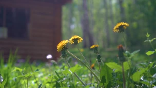 Many Yellow Beautiful Dandelions Blossoming in the Wind, in the background Country house and grass