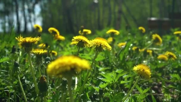 Many Beautiful Yellow Dandelions Stir in the Wind on a Sunny Spring Day. Nature Awakening Concept