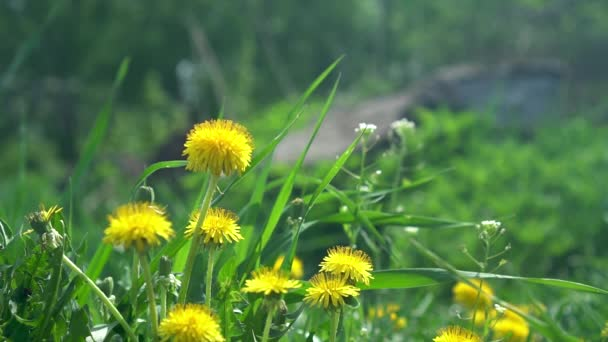 Composition from Yellow Beautiful Dandelions on a Spring Sunny Day. Nature Awakening Concept