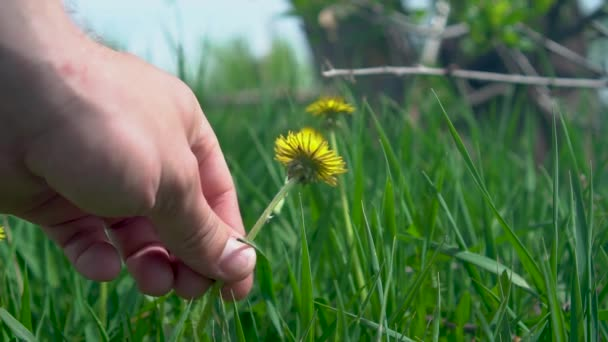 The Mans Hand REMOVES YELLOW Dandelion