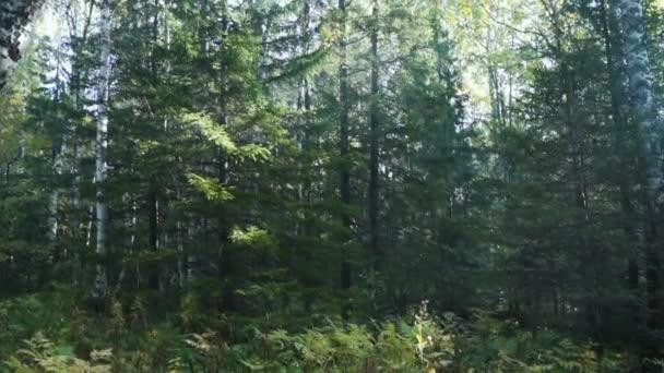 Letní vílí les, Kmeny stromů, Sluneční paprsky prolamující stromy. Lesní zeleň s trávou a mechem. Procházet se lesem, zatímco slunce v létě vykukuje mezi stromy. Paprsky světla do zeleného lesa