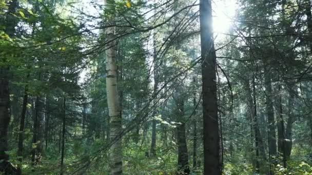 Sommermärchenwald, Baumstämme, Sonnenstrahlen, die durch die Bäume brechen. Waldgrün mit Gras und Moos. Ein Spaziergang durch den Wald, wenn die Sonne im Sommer durch Bäume lugt. Strahlt Licht in den grünen Wald