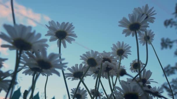 Muž Ruka Jemně dotýká zářivě Daisy Flowers. Mužská ruka se dotýká Daisy Flowers. Muž jemně kráčí svou rukou přes vrcholy květin Daisy