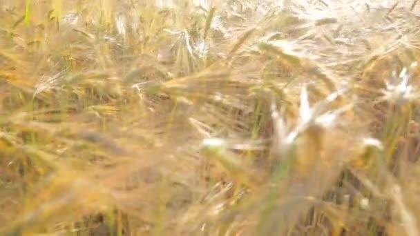 Slunce svítí na pšeničné pole