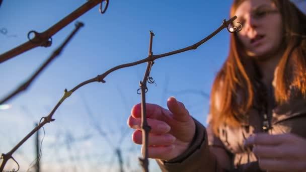 Személy ellenőrzése vineyard ág rügyek