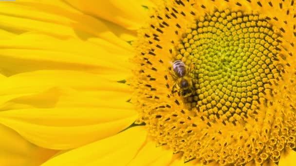 Včela sklizeň medu