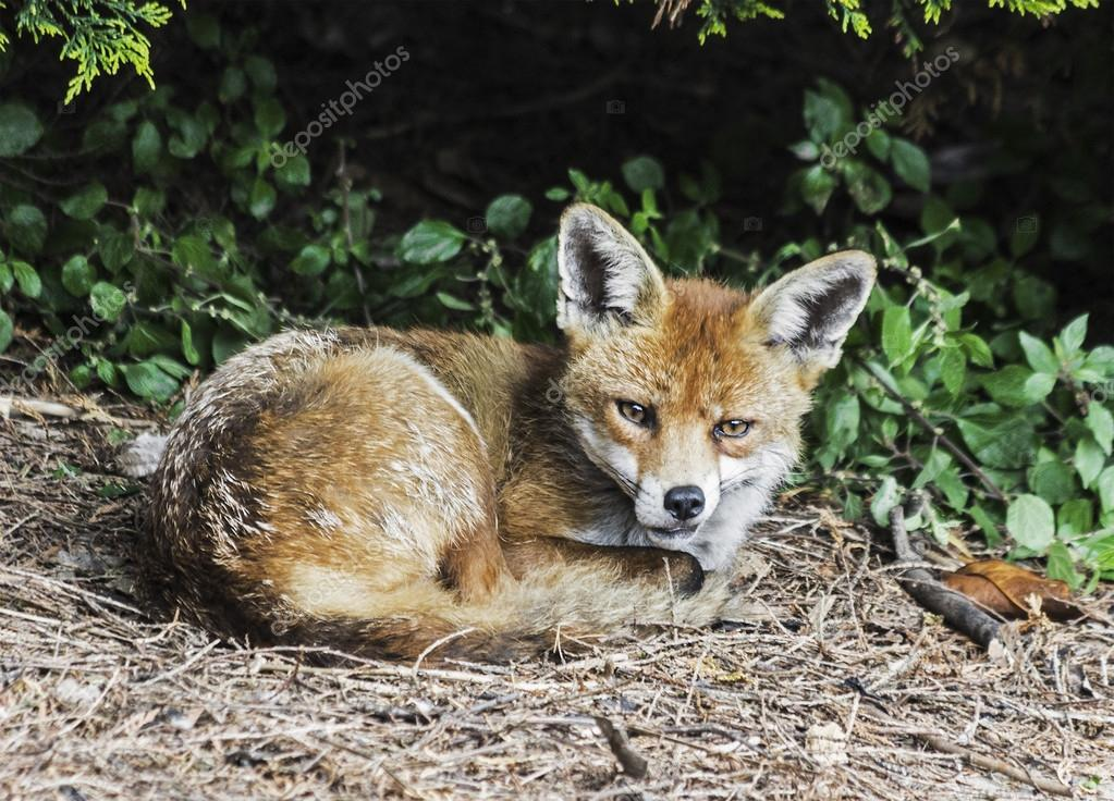 red fox lying down and curled up waking from sleep stock photo